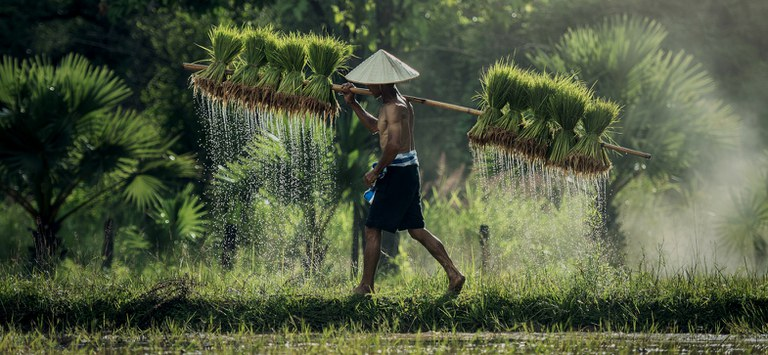 Rice paddy and worker